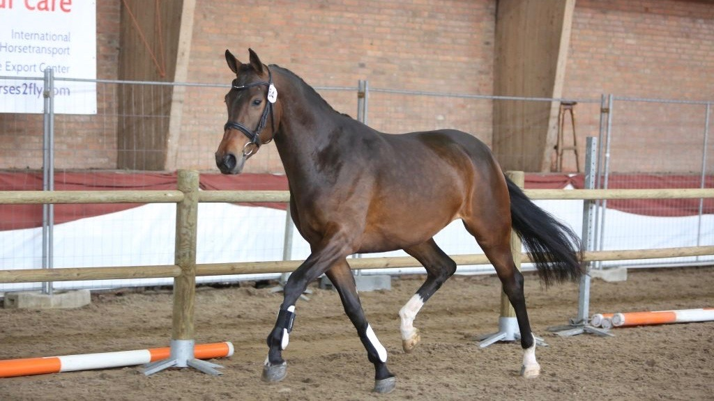 ONNK 2016. De Dream Boy-dochter Intense maakte indruk bij de jonge dressuurpaarden.