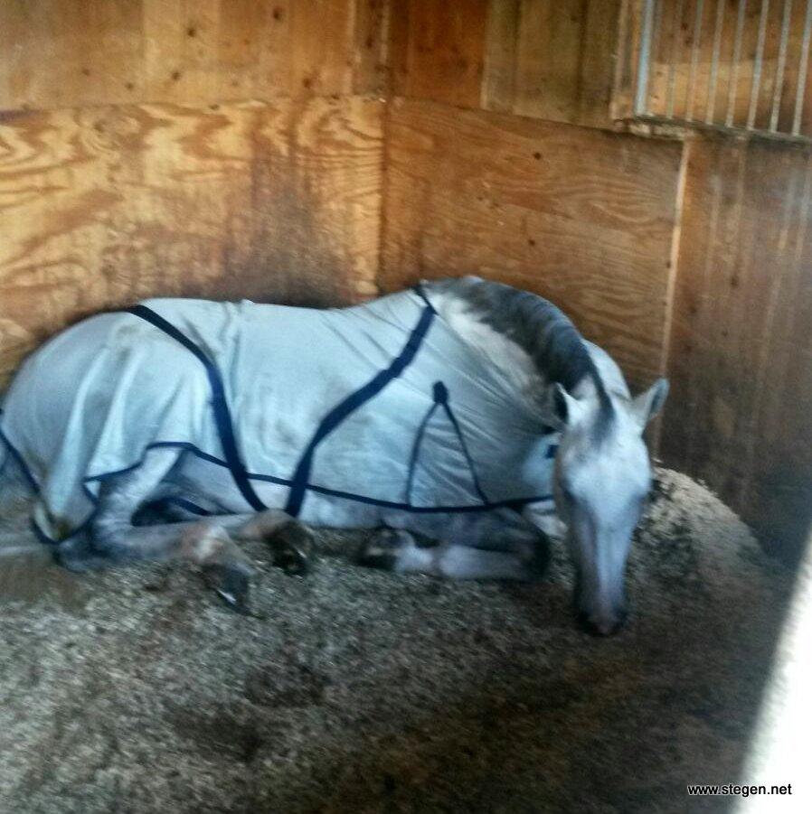 Elberta VDK, ook wel bekend als Early Grey, ligt lekker in de stal. Vermoeiend hoor zo'n reis!