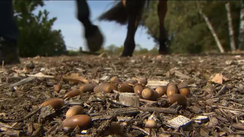 Het eten van veel eikels kan gevaarlijk zijn voor paarden. foto: VTM