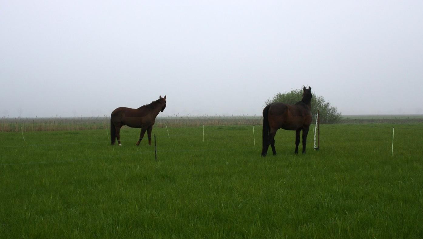 Oude paarden in de wei (archief)