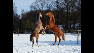 dansende paarden in de sneeuw
